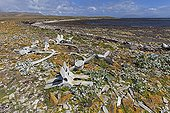 Whale skeleton covered with lichen - Falkland Islands