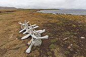 Whale skeleton with lichen - Falkland Islands