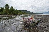 Sockeye Salmon on the bank - Kuril Lake Kamchatka Russia