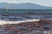 Sockeye Salmons - Kuril Lake Kamchatka Russia
