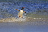 Gentoo penguin surfing on a wave - Falkland Islands