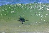 Gentoo penguin surfing inside a wave - Falkland Islands