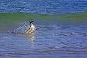 Gentoo penguin landing on a beach - Falkland Islands