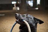 Dog holding a hoop - Hippodrome de Palermo Argentina  ; Equitherapy in partnership with the AAAEPAD Association and Ariel Pagani équitherapist<br>Asociacion Argentina de Actividades para Ecuestre Discapacitados