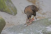 Striated caracara eating a rockhopper penguin -Falkland Isl.