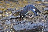 Southern rockhopper penguin gathering mud to build its nest