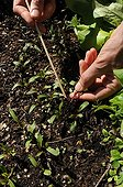 Thinning of beets sowings in a kitchen garden