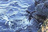 Rockhopper penguin landing on rock - Falkland Islands ; Southern rockhopper penguin jumping out of the water to land on high rocks.