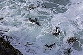 Rockhopper penguins ready to land - Falkland Islands ; Southern rockhoppers penguins group in the waves, ready to land.