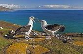 Parade amoureuse d'Albatros à sourcils noirs - Malouines