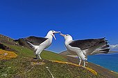 Black-browded albatros mating game - Falklands Islands