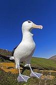 Black-browded albatros on a rock - Falkland Islands