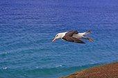 Black-browded albatros flying - Falkland Islands