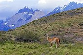 Guanaco in the steppe - Torres del Paine Chile