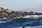 Otaries à fourrure du Cap sur rivage rocheux-Afrique du Sud ; Ile aux Phoques