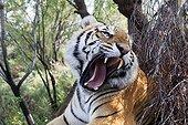 Portrait of Bengal Tiger aggressive