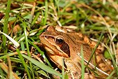 Female grass frog in the grass - France  ; female filled with eggs