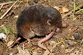 Crowned Shrew eating an earthworm - France