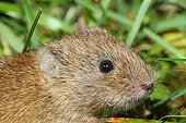Portrait of Common Vole in the grass - France