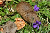 Common Vole and Violet flowers - France