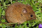 Common Vole eating leaves - France