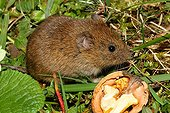 Common Vole and nut in grass - France