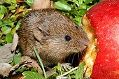 Common Vole eating an apple in the grass - France
