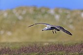 Kelp gull ready to land - Falkland Islands