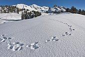 Hare footprints in the snow - Queyras Alps France ; Under the Pointe de la Selle