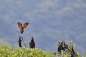 Black flying fox - Komodo National Park