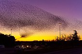 Common Starlings joining their dormitory in winter - France