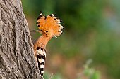 Eurasian Hoopoe male on a trunk - France