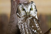 Boreal Owl on a branch Bayerischer Wald - Germany