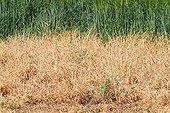 Vegetation after spraying weedkiller - Spain