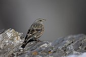 Alpine accentor - Switzerland