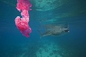 Whale shark swims by a plastic bag - Oslob Philippines - Composite image