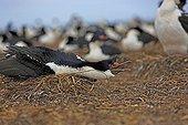 Imperial shag defense posture - Falkland islands ; facing a predator