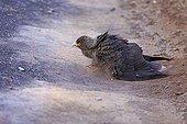 Striated caracara taking a dust bath - Falkland islands