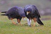 Striated caracaras playing with lambwool - Falkland islands