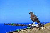 Striated caracara on a camera - Falkland islands