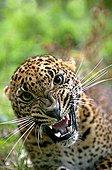 Sri Lankan Leopard - Asia