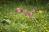 Buttercup Roe deer - France