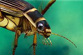 Great diving beetle - France