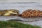 Nil Crocodile Reticulated giraffe - Kenya