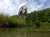 Grey Heron in water - Midlands Britain UK