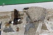 House Martin in flight by nest - Powys Wales UK