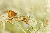 Amaryllis on a grass - Alsace France