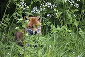 Red fox standing in a hedge at spring GB