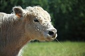 Portrait of Galloway calf in Vaucluse - France