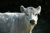 Portrait of Galloway cow in Vaucluse - France